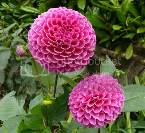 dahlias Pictures, Images and Photos